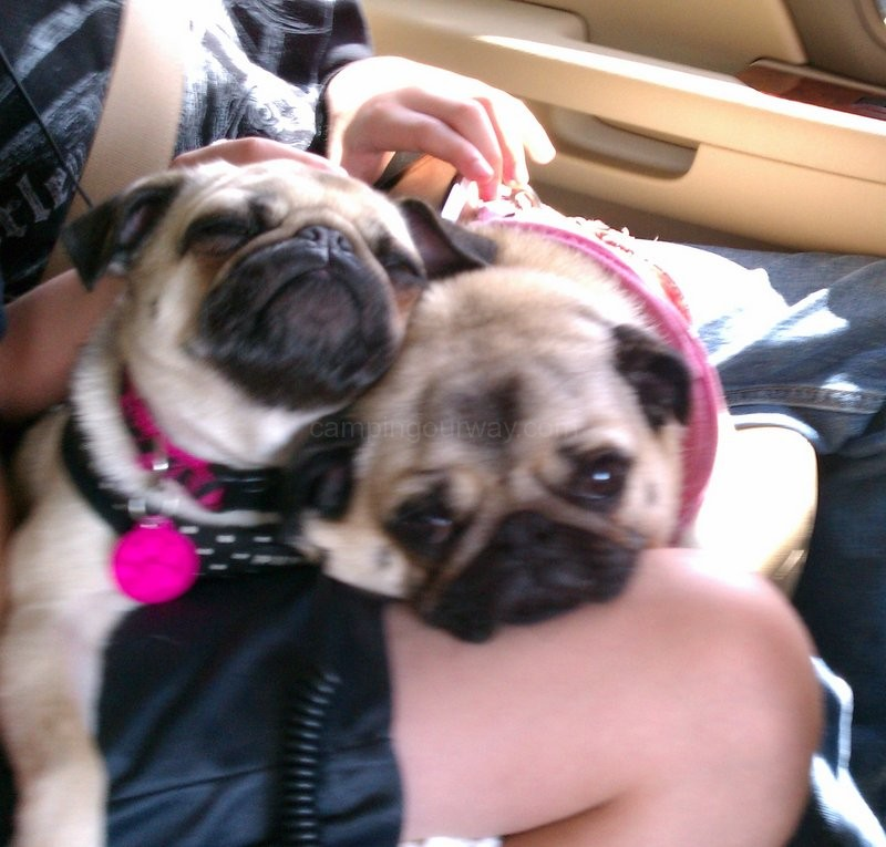 Traveling Pugs Camping Our Way