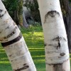 Birch Trees at Wanapum State Park