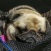 tired pug after all the festivites
