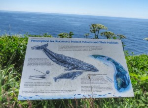 Winter and Spring is prime whale viewing season